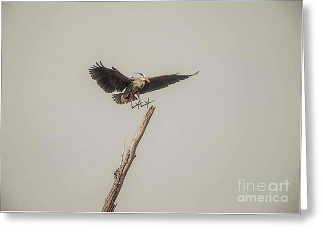 Greeting Card featuring the photograph Great Blue Landing by David Bearden