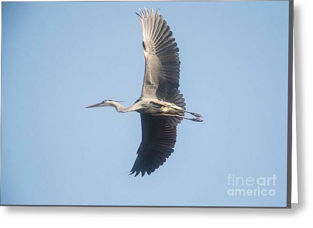 Greeting Card featuring the photograph Great Blue On Final by David Bearden