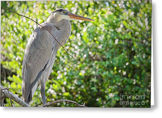 Great Blue Posing Greeting Card by Judy Kay