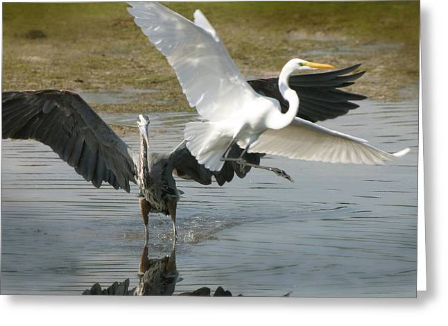 Great Blue Vs. Great White Egret Greeting Card