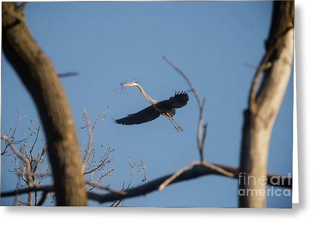 Greeting Card featuring the photograph Great Blues Nesting by David Bearden