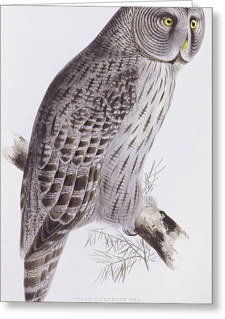 Great Cinereous Owl Greeting Card by John Gould