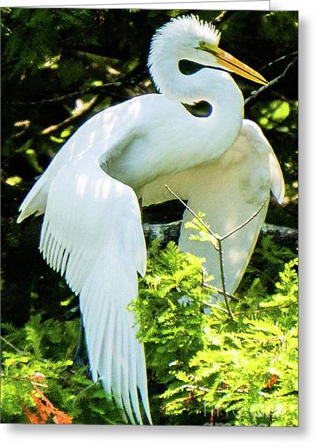 Great Egret Stretching Greeting Card