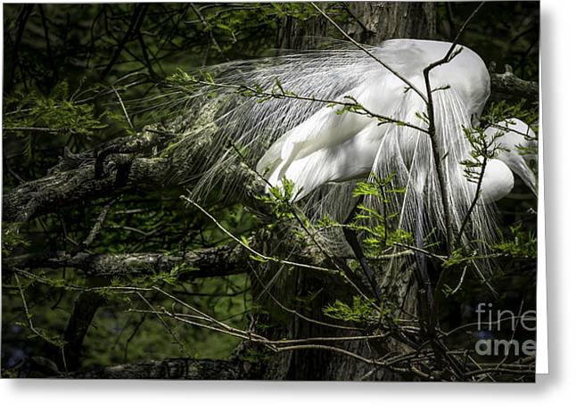 Great Egret #2 Greeting Card