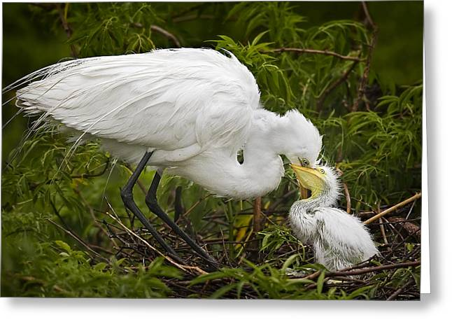 Great Egret Greeting Cards - Great Egret and Chick Greeting Card by Susan Candelario