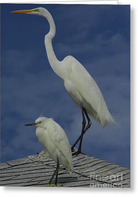 Great Egret And Snowy Egret Greeting Card by D Hackett
