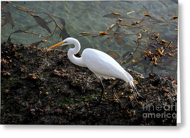 Great Egret At A Low Tide Greeting Card
