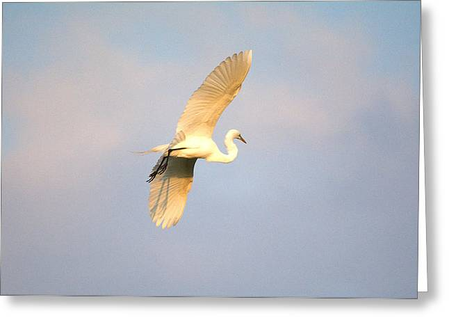 Great Egret Bathed In Golden Sunlight Greeting Card