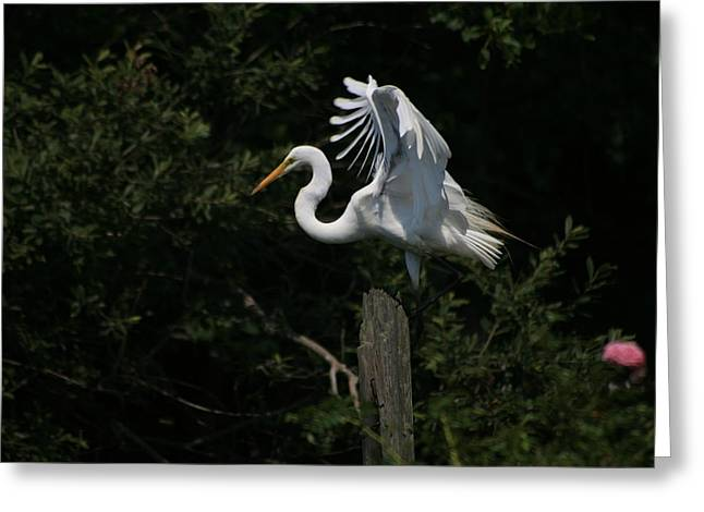 Great Egret Beautiful Plumage Greeting Card by Christopher Kirby