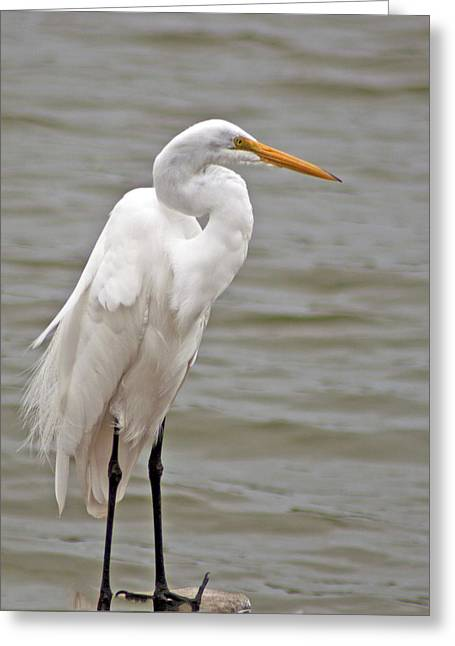 Greeting Card featuring the photograph Great Egret by Bill Barber
