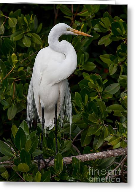 Greeting Card featuring the photograph Great Egret by Chris Scroggins