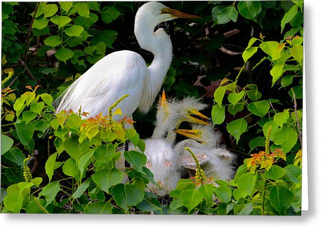 Great Egret Family Greeting Card by Lindy Pollard