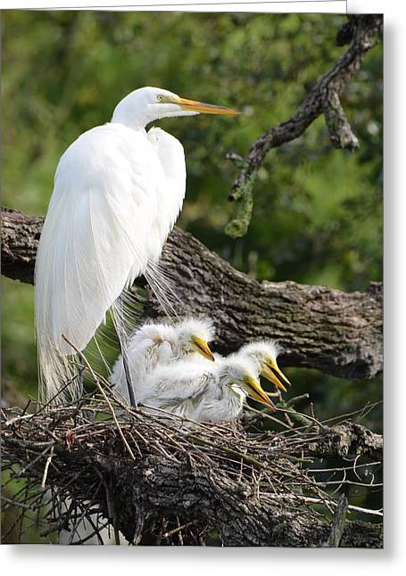 Great Egret Family  Greeting Card