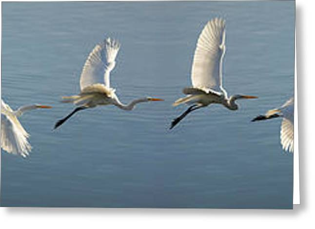 Great Egret Flight Sequence Greeting Card