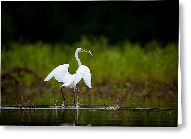 Great Egret, Great Fisherman Greeting Card