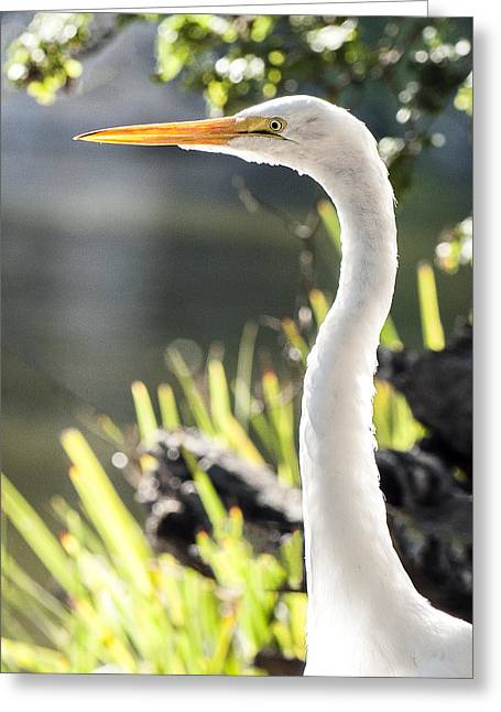 Great Egret Headshot Profile  Greeting Card