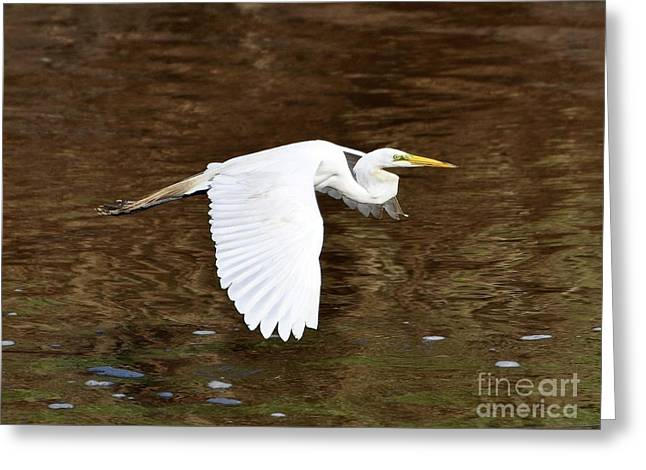 Great Egret In Flight Greeting Card by Al Powell Photography USA