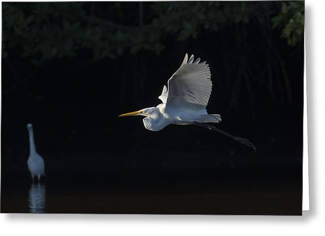 Great Egret In Morning Flight Greeting Card