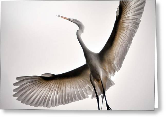 Great Egret Majesty Greeting Card