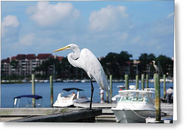 Great Egret Greeting Card by Margaret Palmer