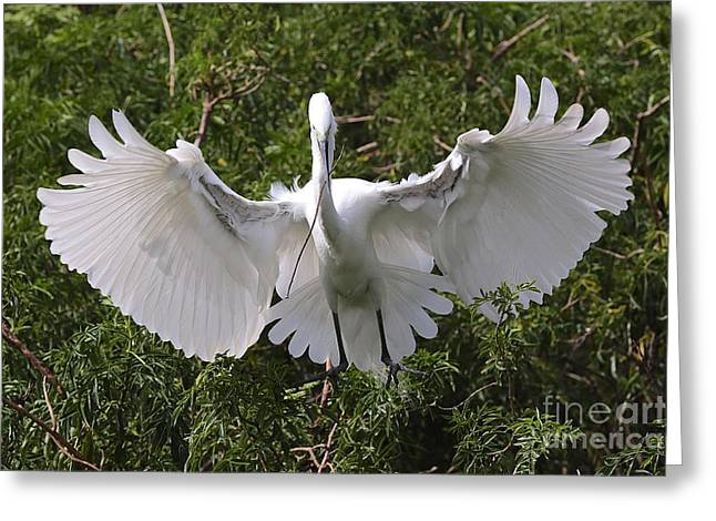 Great Egret Nest Builder Greeting Card by Carol Groenen