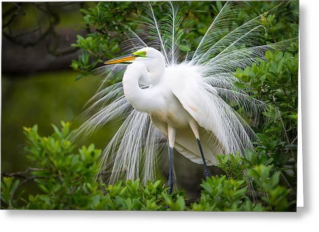 Great Egret Nesting St. Augustine Florida Coastal Bird Nature Greeting Card