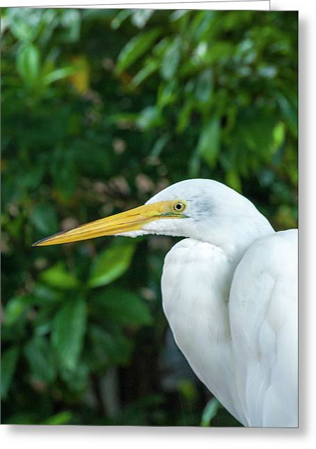 Great Egret Greeting Card by Pamela Williams