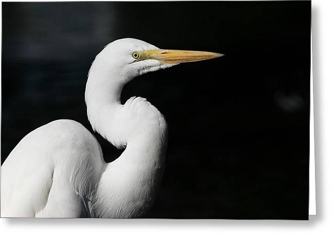 Great Egret Portrait Greeting Card by Andrew Johnson