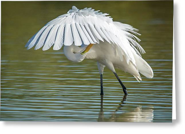 Great Egret Preening 8821-102317-2 Greeting Card