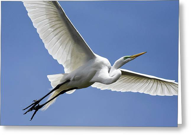 Great Egret Soaring Greeting Card by Gary Wightman