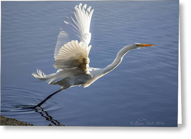 Great Egret Taking Flight Greeting Card
