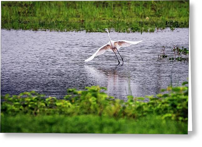Great Egret Taking Off Greeting Card by Vishwanath Bhat