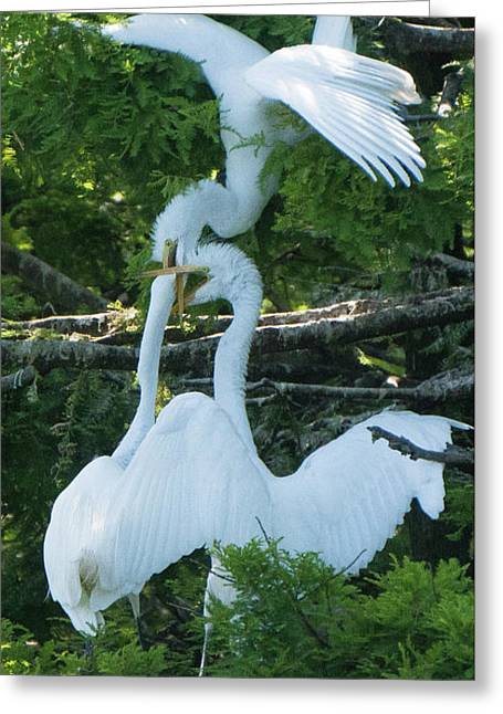 Great Egrets Horsing Around Greeting Card