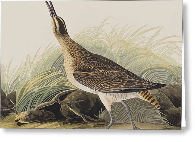 Great Esquimaux Curlew Greeting Card by John James Audubon