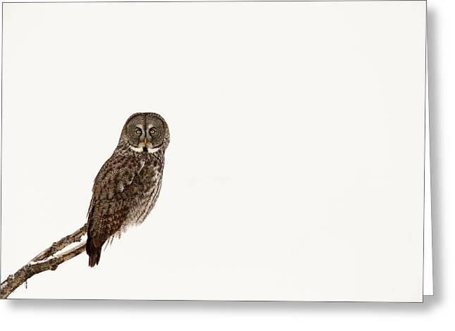 Great Gray On White Greeting Card by Tim Grams