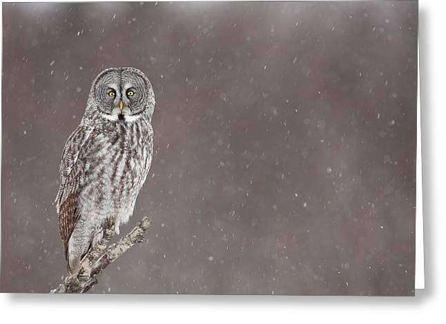 Falcon Hunting Greeting Cards - Great Gray Owl in Falling Snow Greeting Card by Tim Grams
