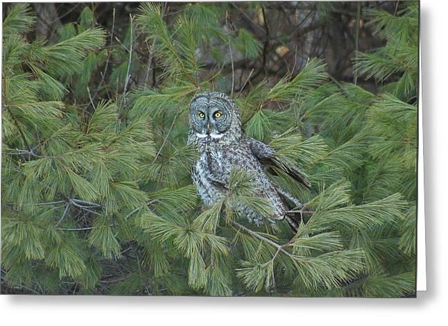 Great Gray Owl In Pine Tree Greeting Card by John Burk