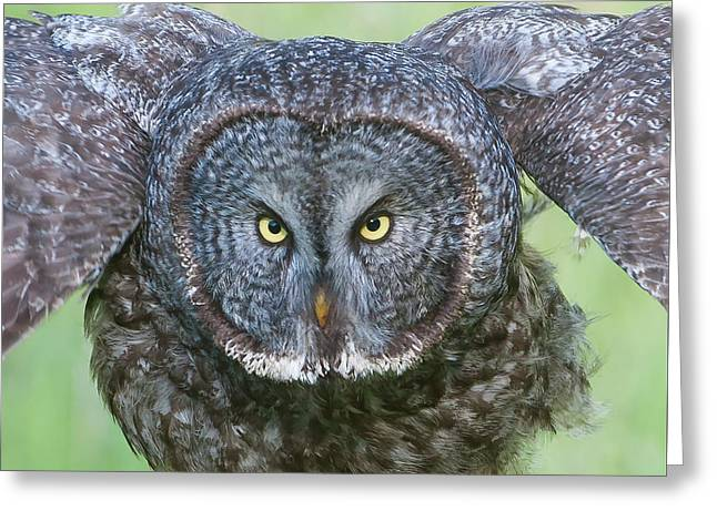 Great Gray Owl Flight Portrait Greeting Card