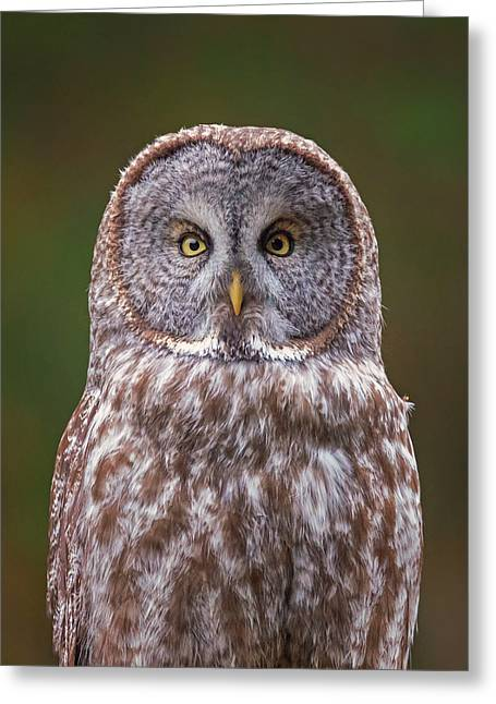 Great Gray Owl Looking At You Greeting Card by Loree Johnson
