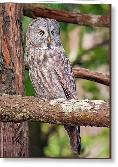 Great Gray Owl On Alert Greeting Card by Loree Johnson