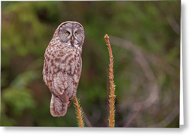 Great Gray Owl Pose Greeting Card