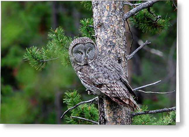 Greeting Card featuring the photograph Great Gray Owl by Ronnie and Frances Howard