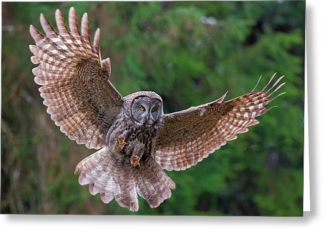 Great Gray Owl Swoop Greeting Card by Loree Johnson