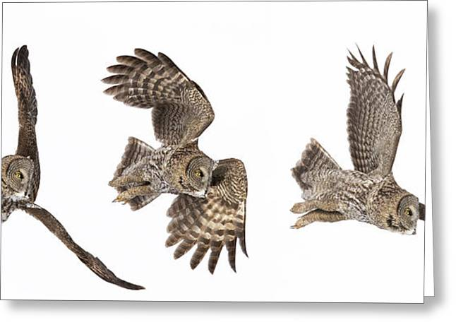 Greeting Card featuring the photograph Great Grey Owl Hunting by Mircea Costina Photography