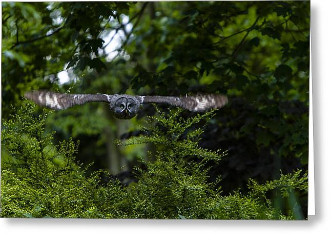 Great Grey Owl In Flight Greeting Card
