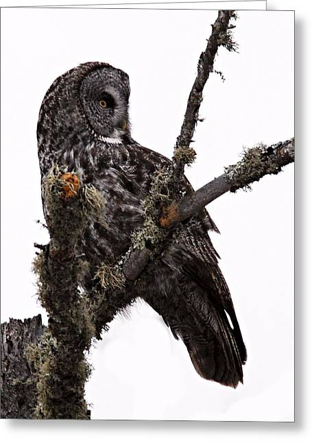 Great Grey Owl Greeting Card by Larry Ricker