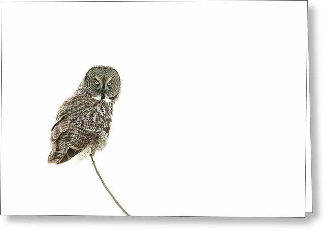 Greeting Card featuring the photograph Great Grey Owl On White by Mircea Costina Photography