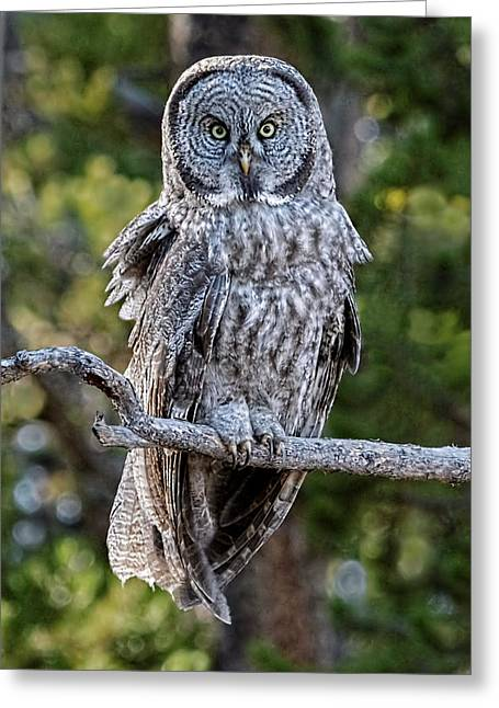 Great Grey Owl Yellowstone Greeting Card