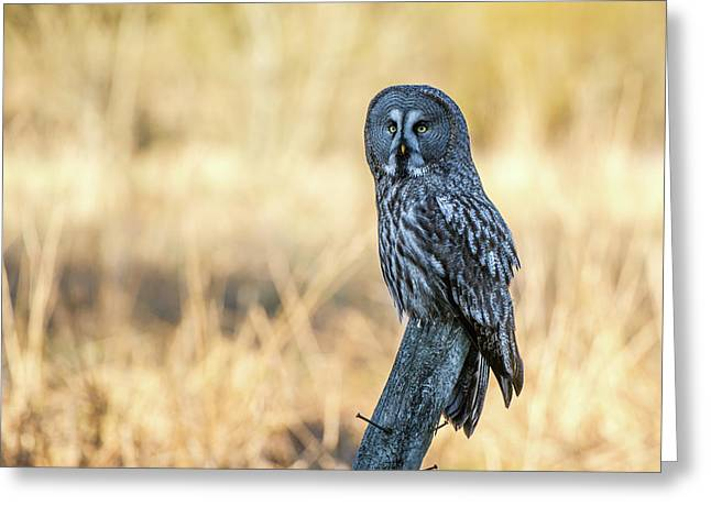 Great Grey Perching Greeting Card by Torbjorn Swenelius