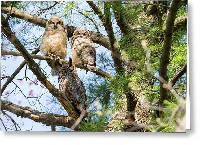 Great Horned Owl Family Greeting Card